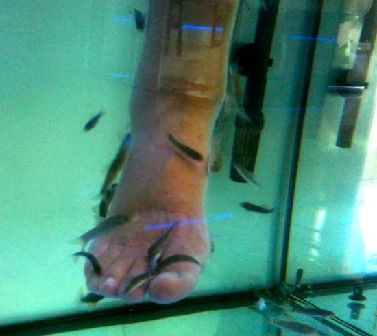Garra Rufa Obtusa fish munching away.