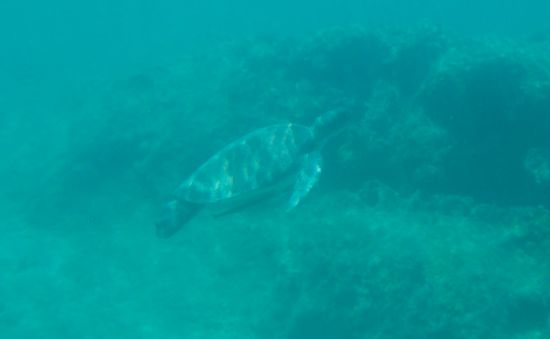 Loggerhead Turtle swimming up to take a breath