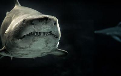 Are Great White Sharks descendants of the Megalodon Shark?