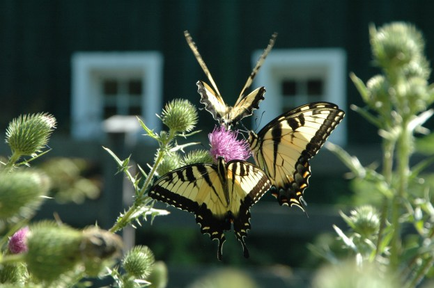 Butterflies enjoying Milk Thistle next to barn