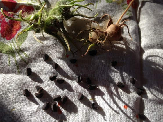 Morning glory seeds from our vines