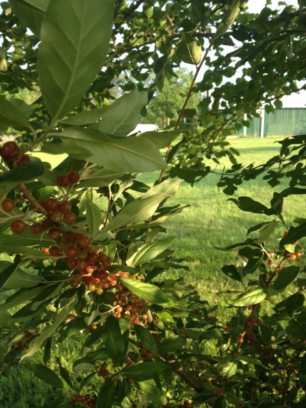 Growing right next to our Mulberry tree-The Autumn Olive bush