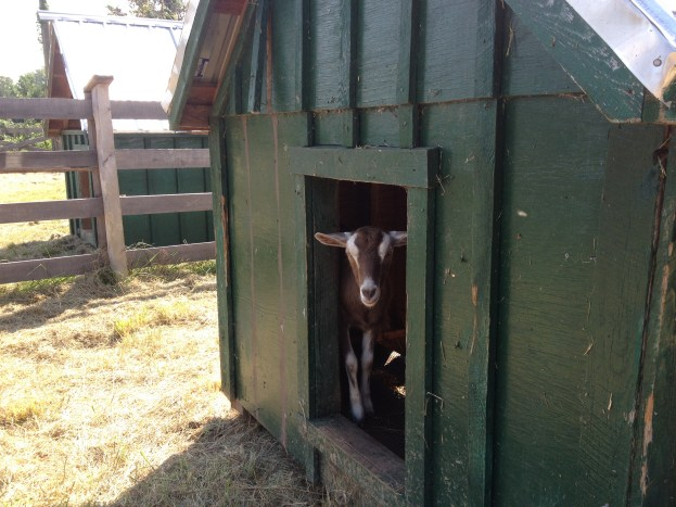 The goat houses all clean, today!