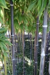 aJTownsj_bamboo2