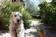 rock and the lemon verbena bush...