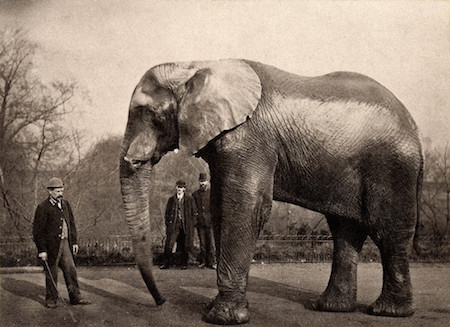 Jumbo and Scotty in America, June 1882