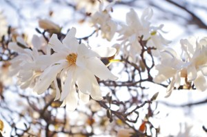 Magnolia stellata sm