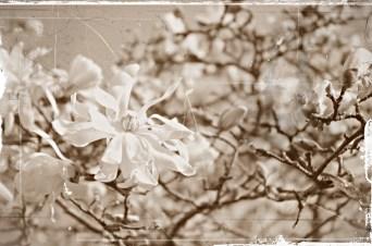 aged Magnolia stellata sm
