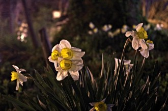 daffodils at night_sm