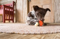 Dog with toy in barn