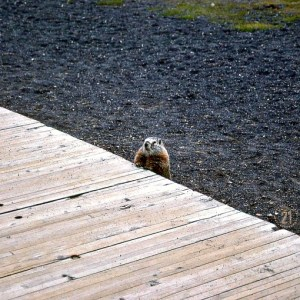 Marmots greeted us on trails and boardwalks throughout Yellowstone. Never very shy, their kazoo-like voices piped up whenever we got close. (Wyoming)