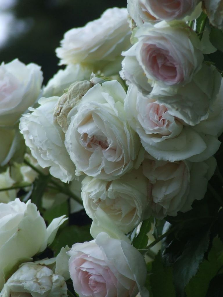 Roses In Garden: MY FRENCH COUNTRY HOME