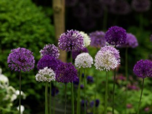 blue and whiye alliums