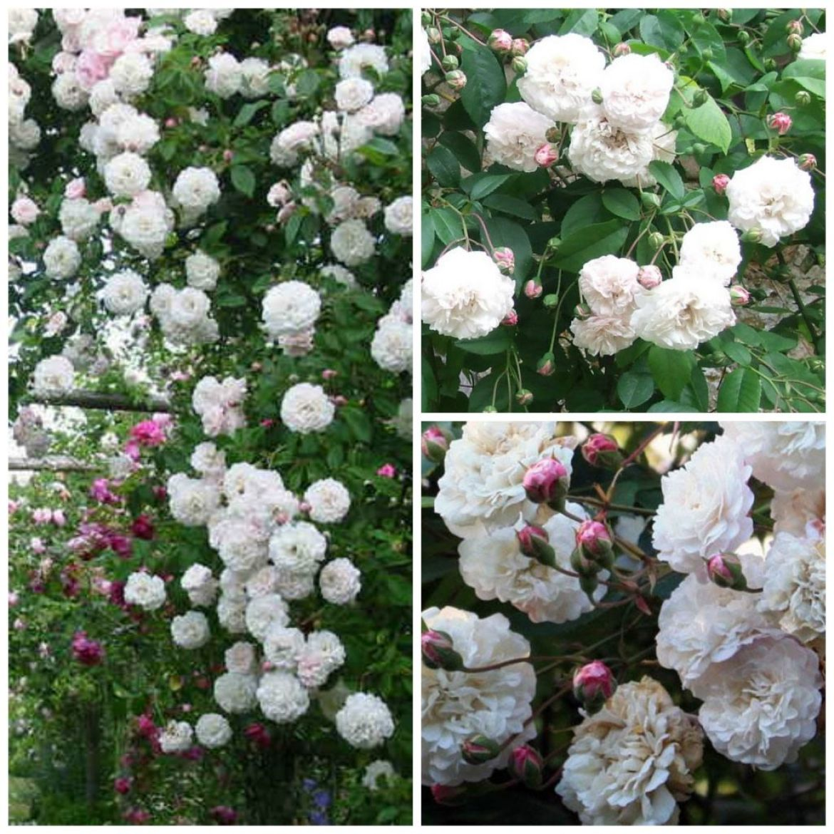 old-french-roses--felicite-perpetue-my-french-country-home.