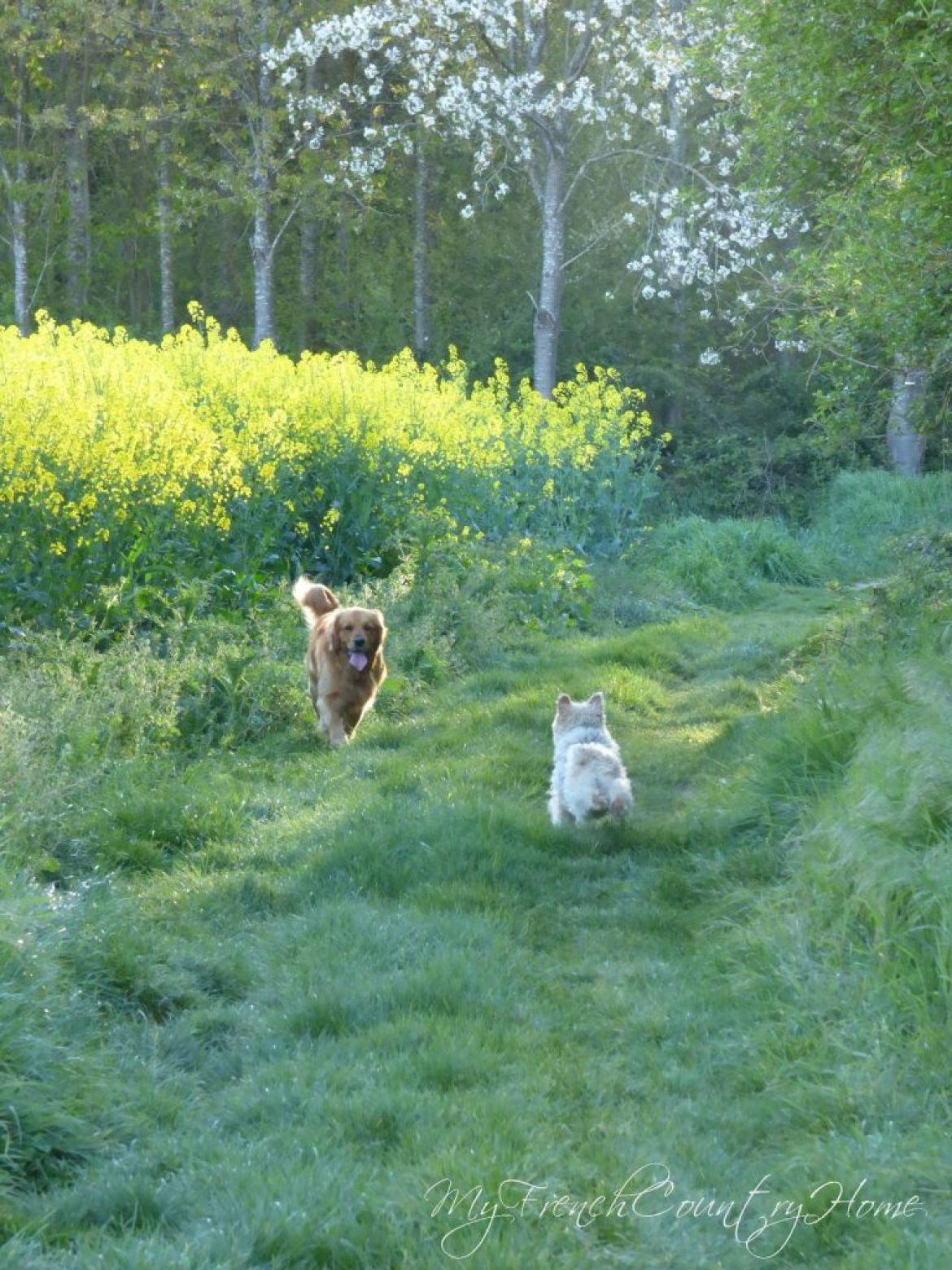 dogs running my canola field