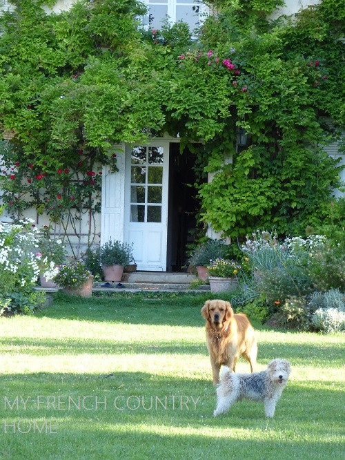gibson and ghetto, golden retriever and terrier dogs standing in the garden