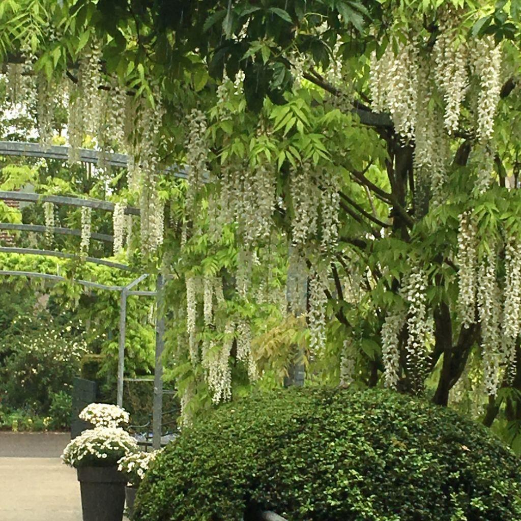 white wisteria in garden