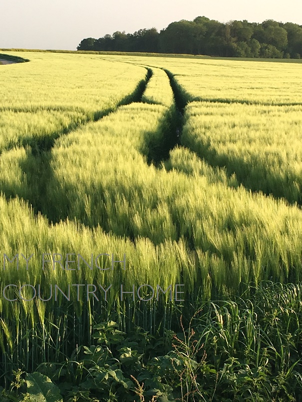 fields of barley in evening light