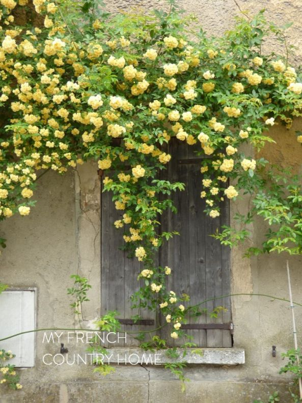 yellow rose on shutters