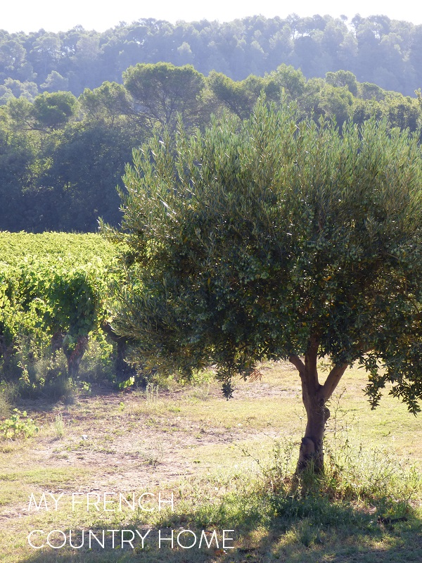 olive grove with vineyards