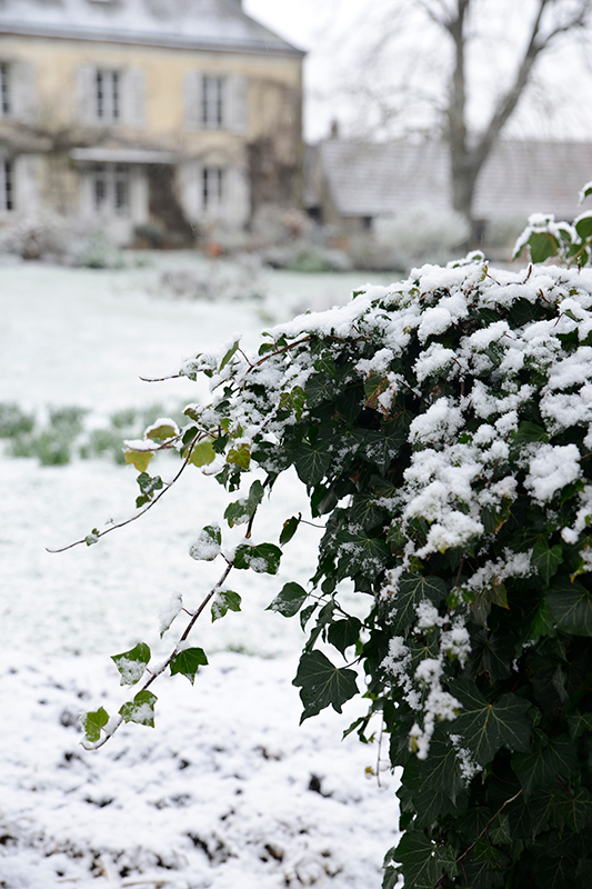 Green foliage in the garden blanketed with snow- looking forward to christmas with the family- MY FRENCH COUNTRY HOME