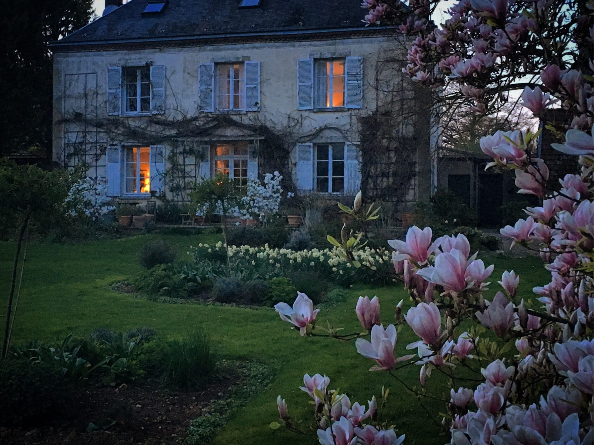 magnolia in flower in front of house with daffodils