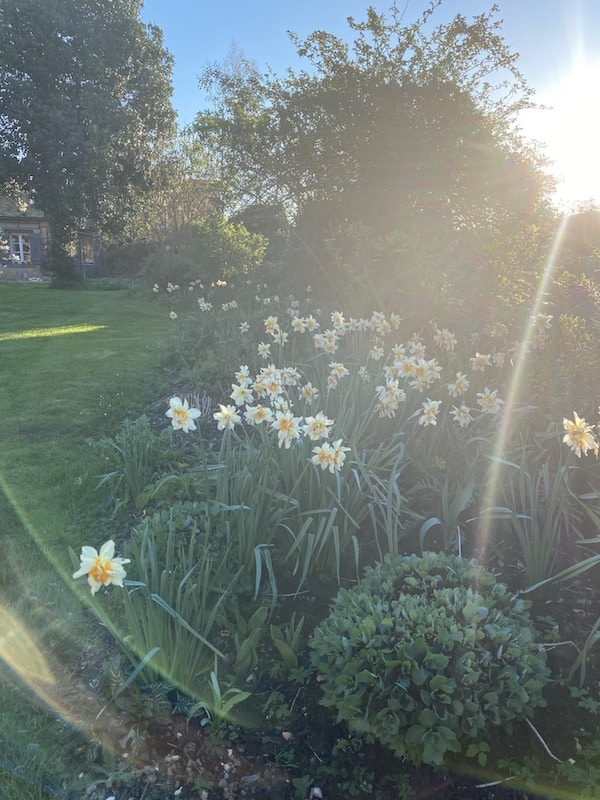 spring sunshine with daffodils