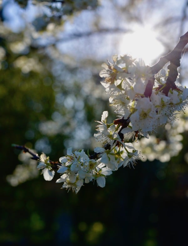 blossom in the sunlight