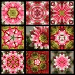 Full 9 Square Pink Shasta Daisy 800 x 800 WM