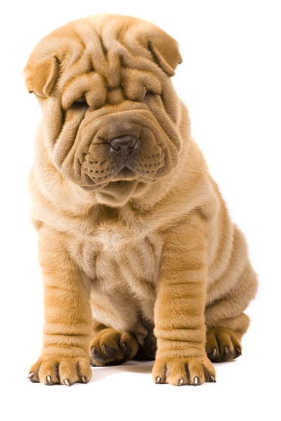 Image result for shar pei
