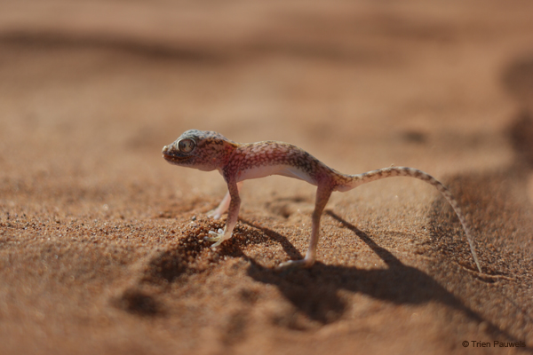 The Arabian Sand Gecko. The coloring of their skin allows for very good camouflage among the sand of Sharqiya Sands