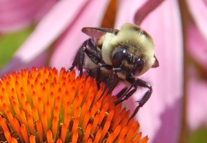Coneflower bee close up