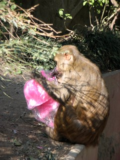 ...and this is the monkey enjoying the cotton candy at the monkey temple.