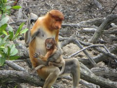 The proboscis monkey is definitely the weirdest of all monkeys. Great schnoz.