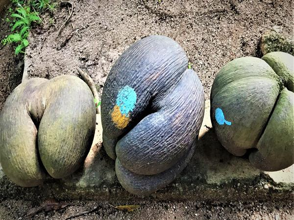 Coco de mer, the local seeds of Seychelles