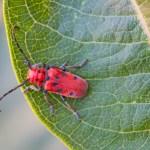 Beetle on Leaf, Bismarck, North Dakota
