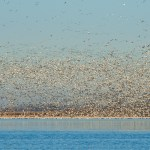 Snow Geese, Squaw Creek National Wildlife Refuge, Missouri