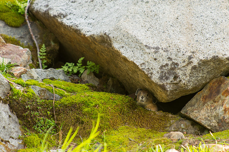 An American Pika peeks out from under a rock, Pinnacle Peak Trail, Mount Rainier National Park