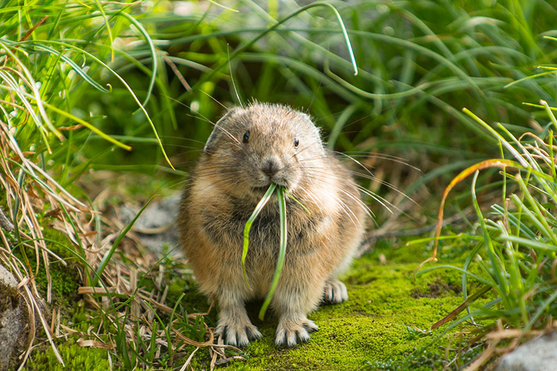 Pika chewing grass