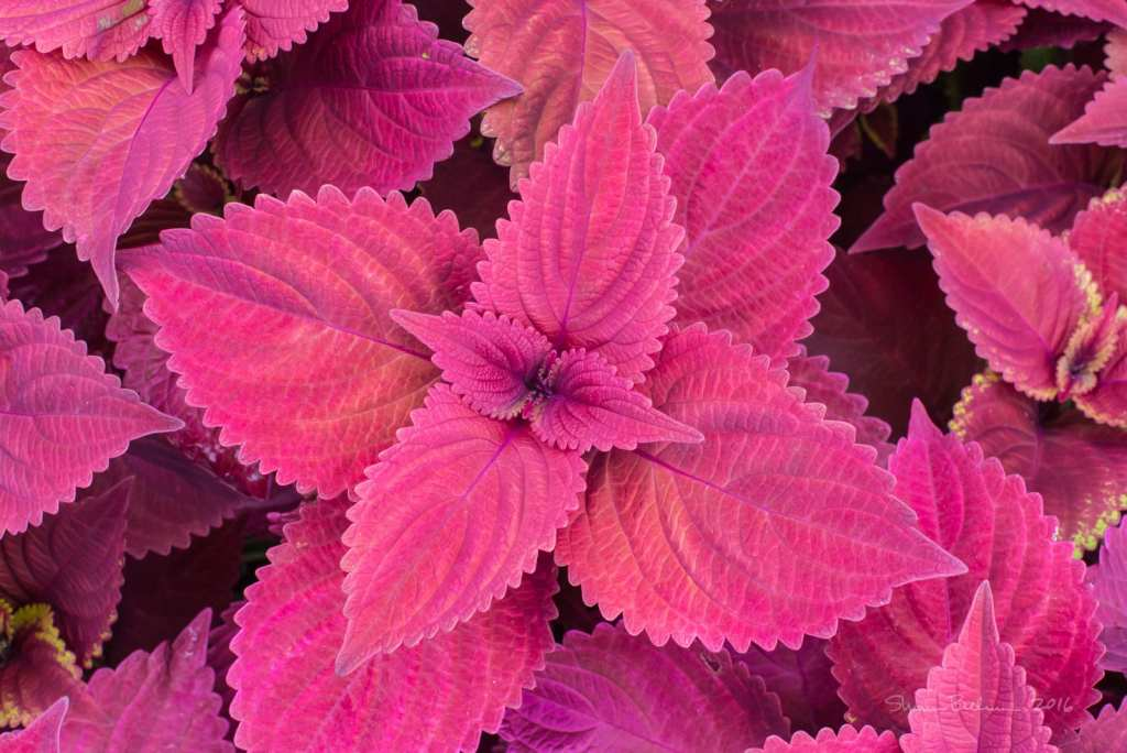 Red Coleus picture