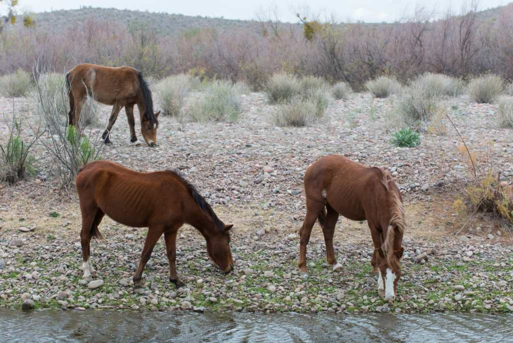 Three horses drink and forage for food along the Salt River in Arizona.
