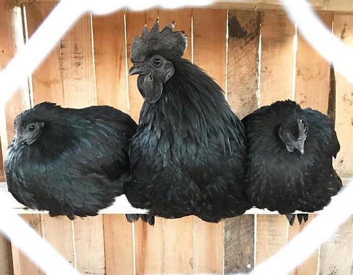 Ayam Cemani Black Chickens