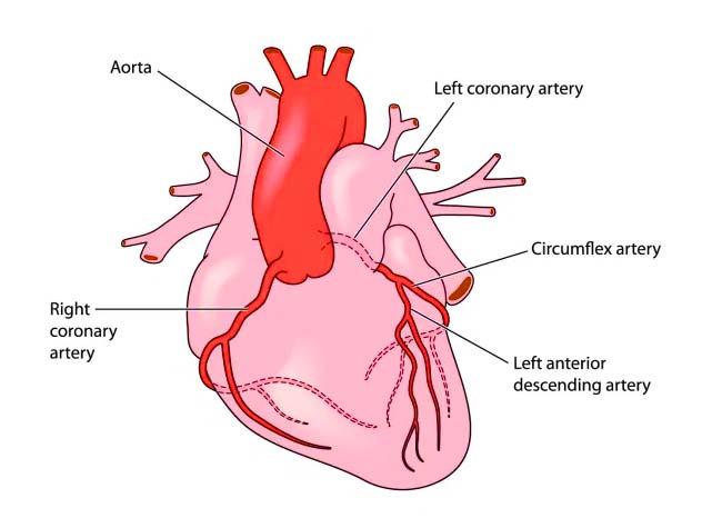 Heart Artery Diagram