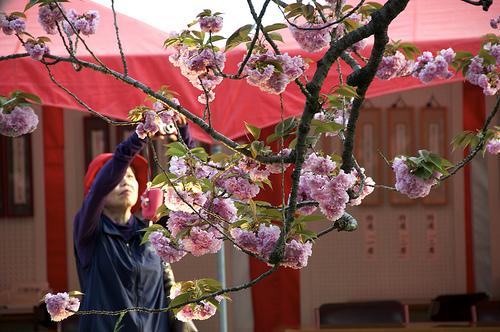 cherry blossoms mint branch