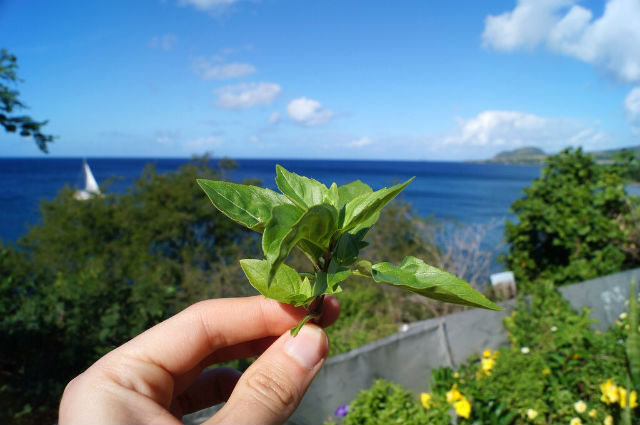 The Island Tour of St Kitts - Some basil on St Kitts