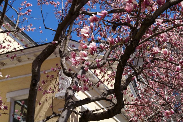 Highlights of Washington DC - Yellow church and magnolia blossoms