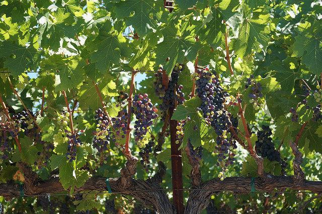 Napa Valley - Grapes growing at Castello di Amorosa