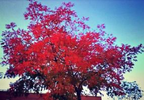 Chinese Pistache Tree 2