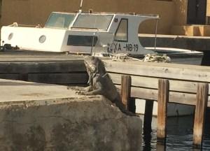 die Leguane in der Marina können einem schon einen Schrecken einjagen...