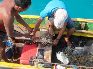 buying spiny lobster, we prefer to have the fishermen do this job